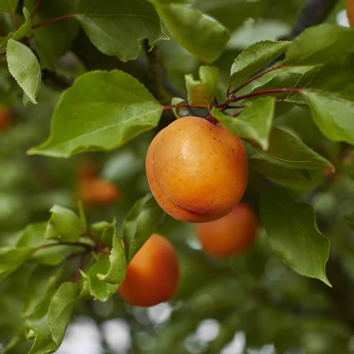 Westerhill Farm Views sovenden apricots